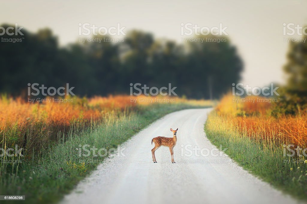 Bambi caught in a stare down stock photo