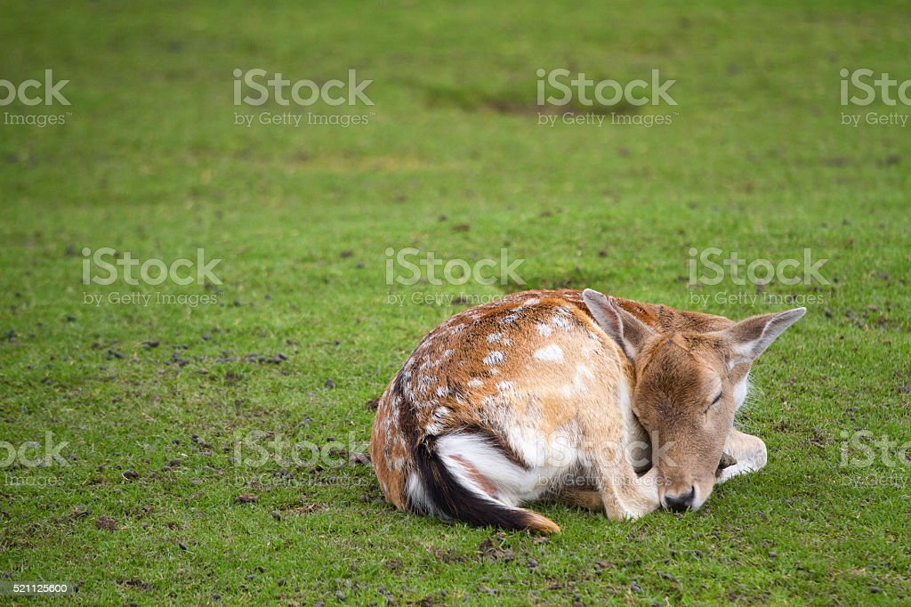 Bambi image of a young deer stock photo
