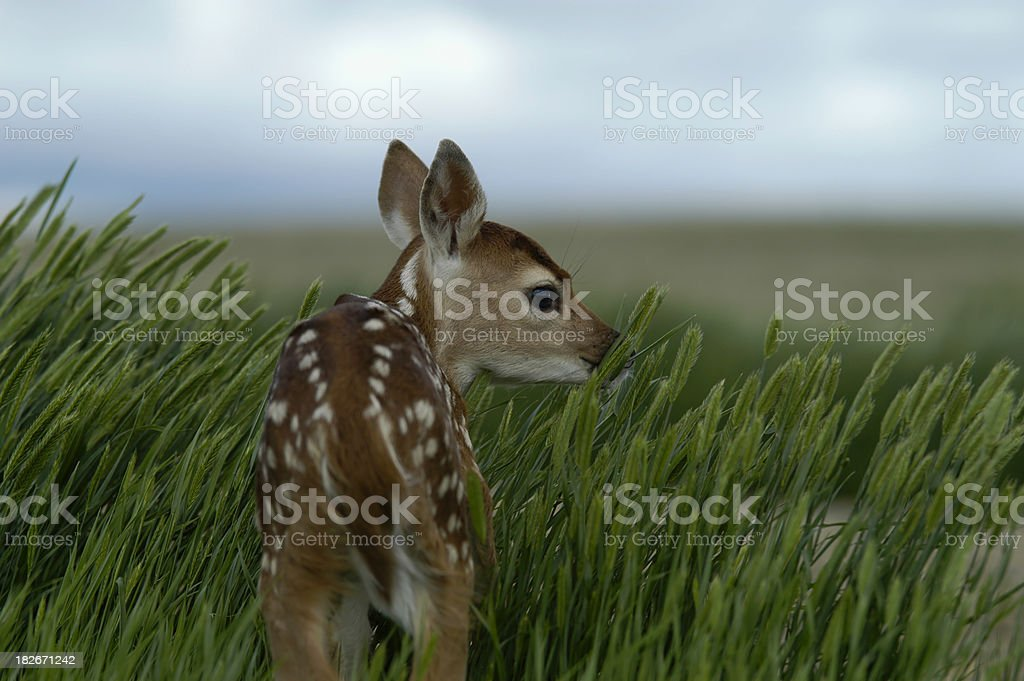 Bambi looking back royalty-free stock photo
