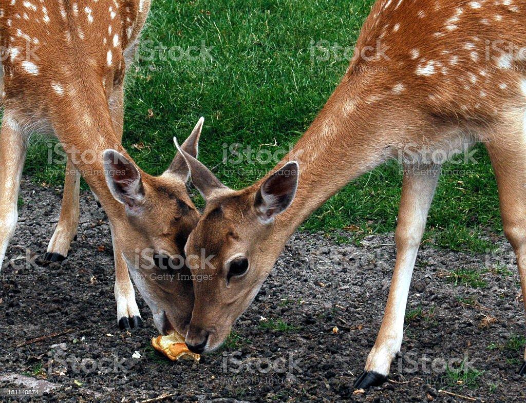 Bambi royalty-free stock photo