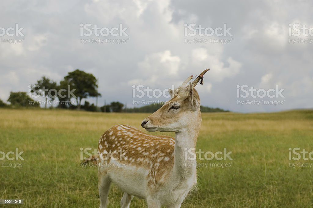 Bambi stock photo