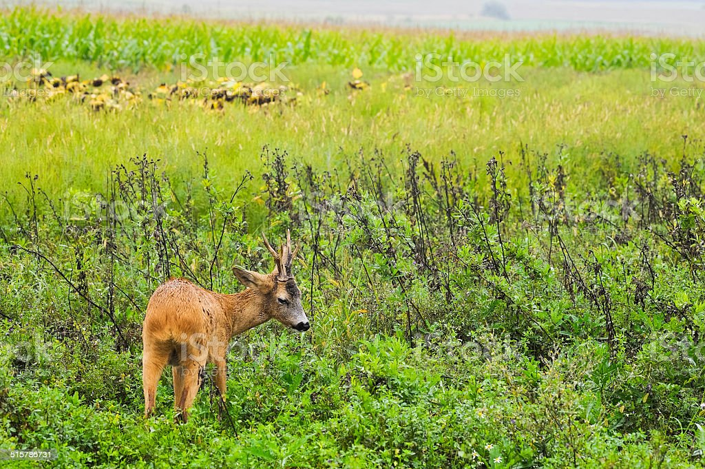 Bambi young deer in the meadow stock photo