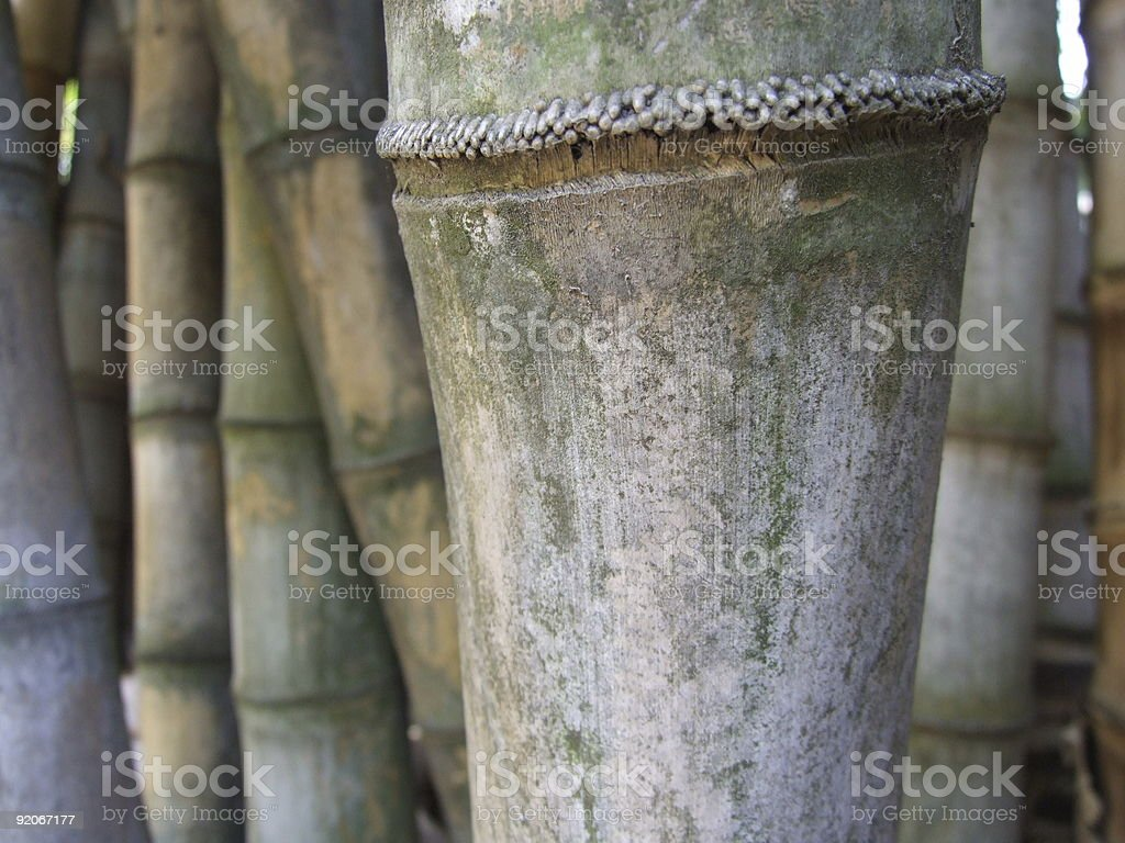 Bamboo bush royalty-free stock photo