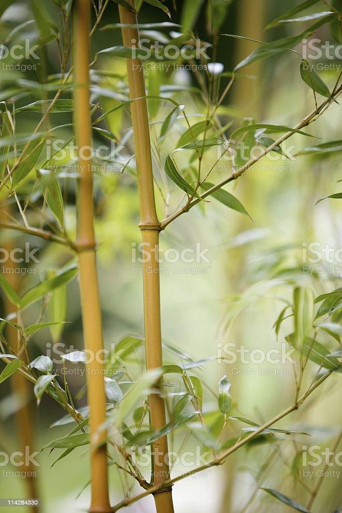 Bamboo Canes... royalty-free stock photo