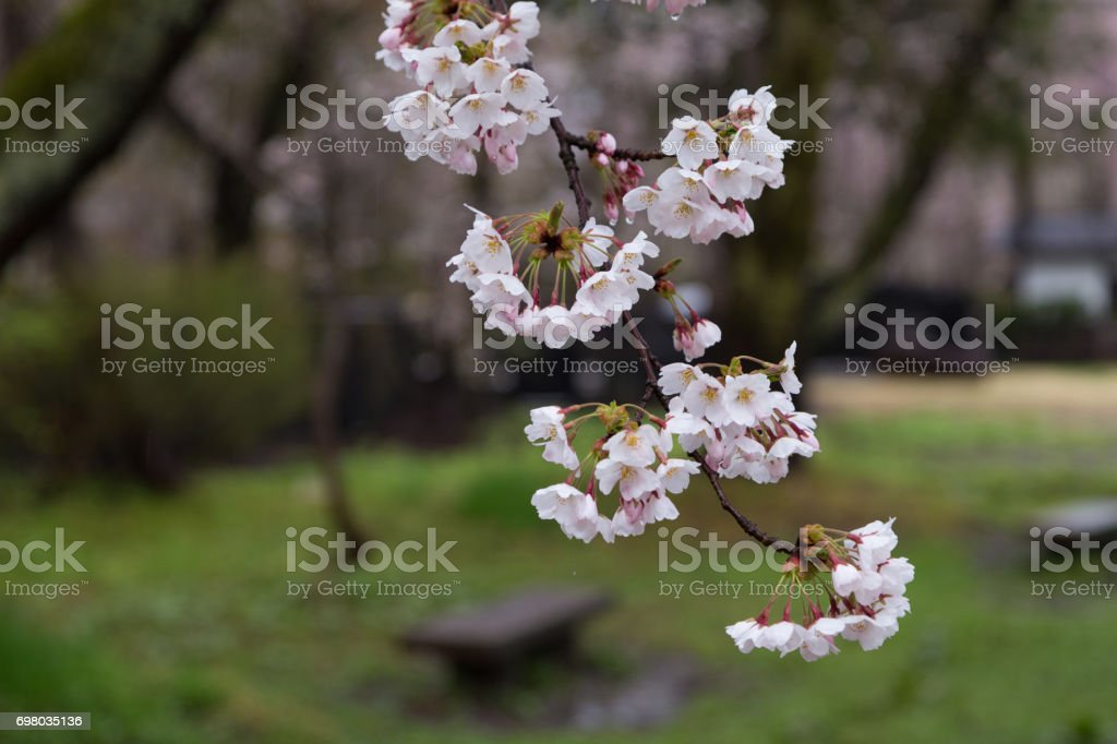 Bamboo cherry blossoms on rainy day stock photo