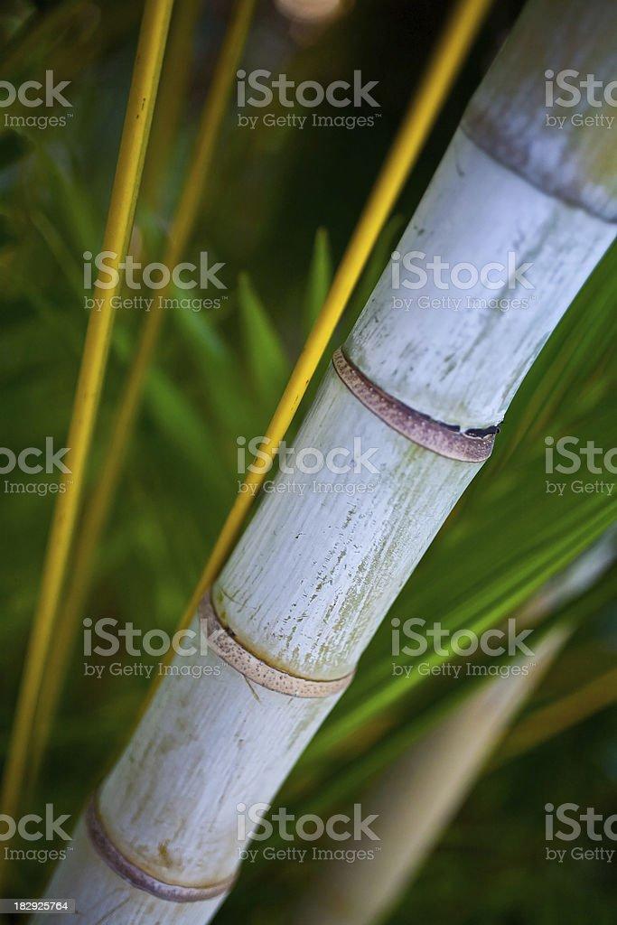 Bamboo Closeup royalty-free stock photo