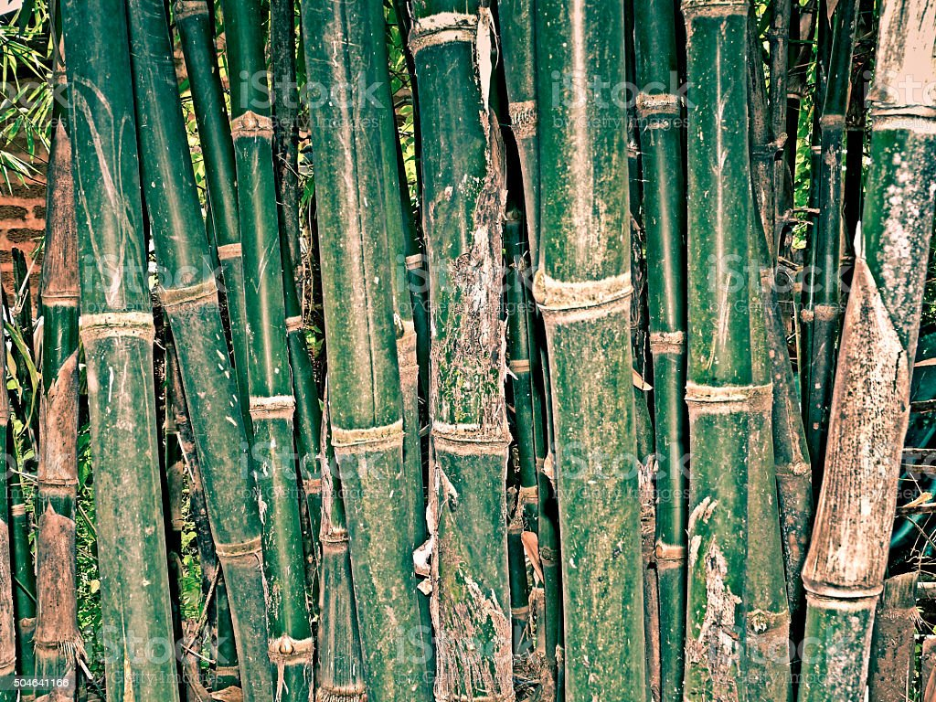 Bamboo Cultivation stock photo