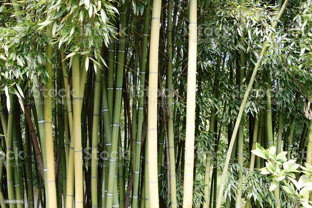 Bamboo Forest a green dream stock photo