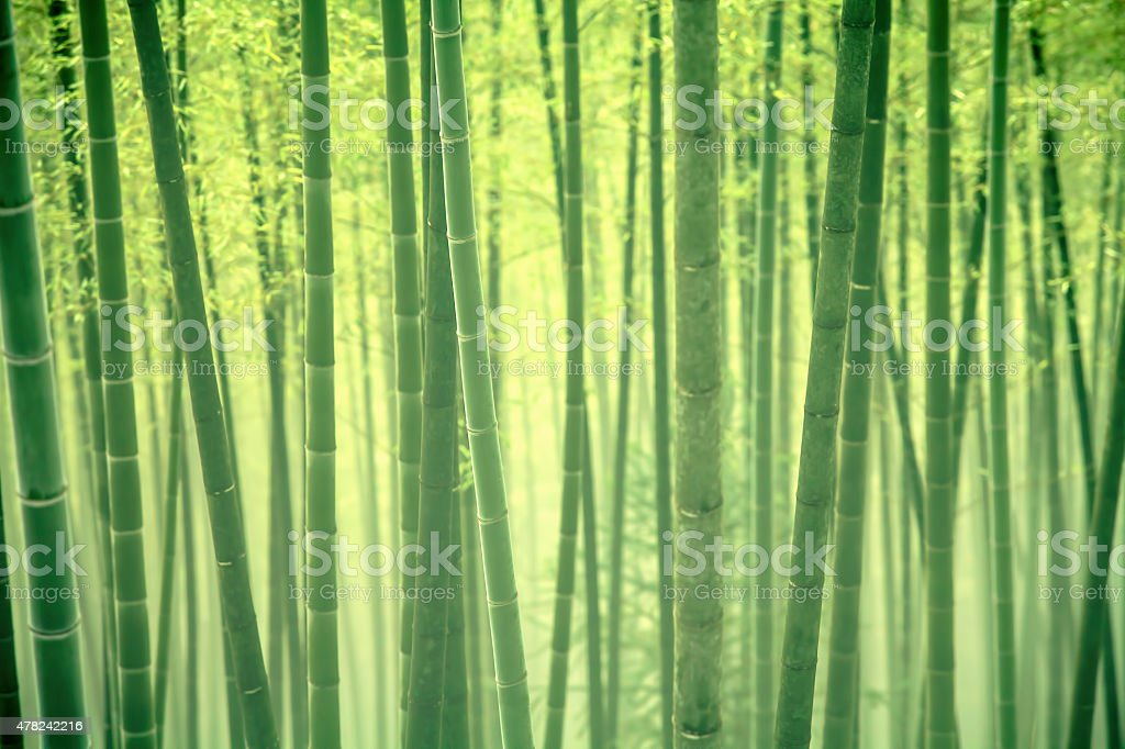 Bamboo forest in morning mist stock photo