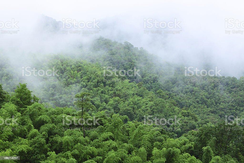 Bamboo forest in rainy season royalty-free stock photo