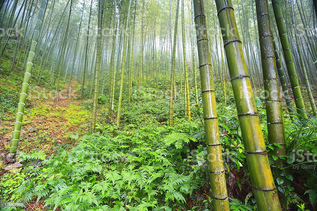 Bamboo forest in the fog,guilin,china stock photo