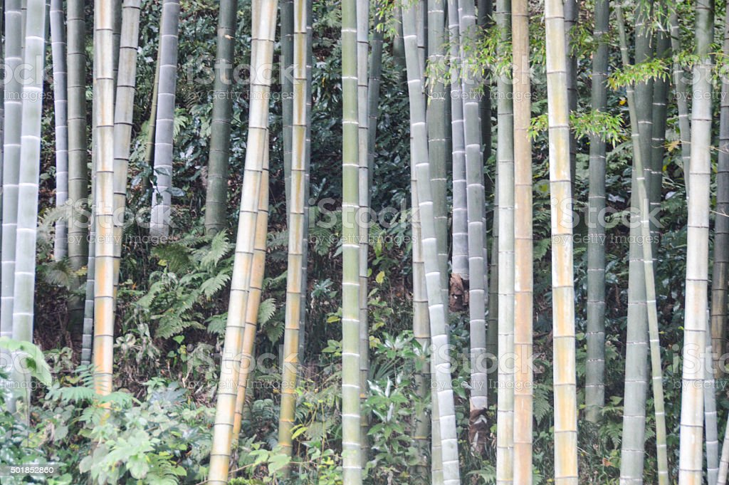 Bamboo Forest - Japan stock photo