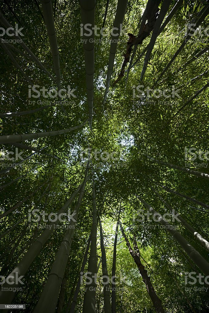 Bamboo Forest Looking Up royalty-free stock photo