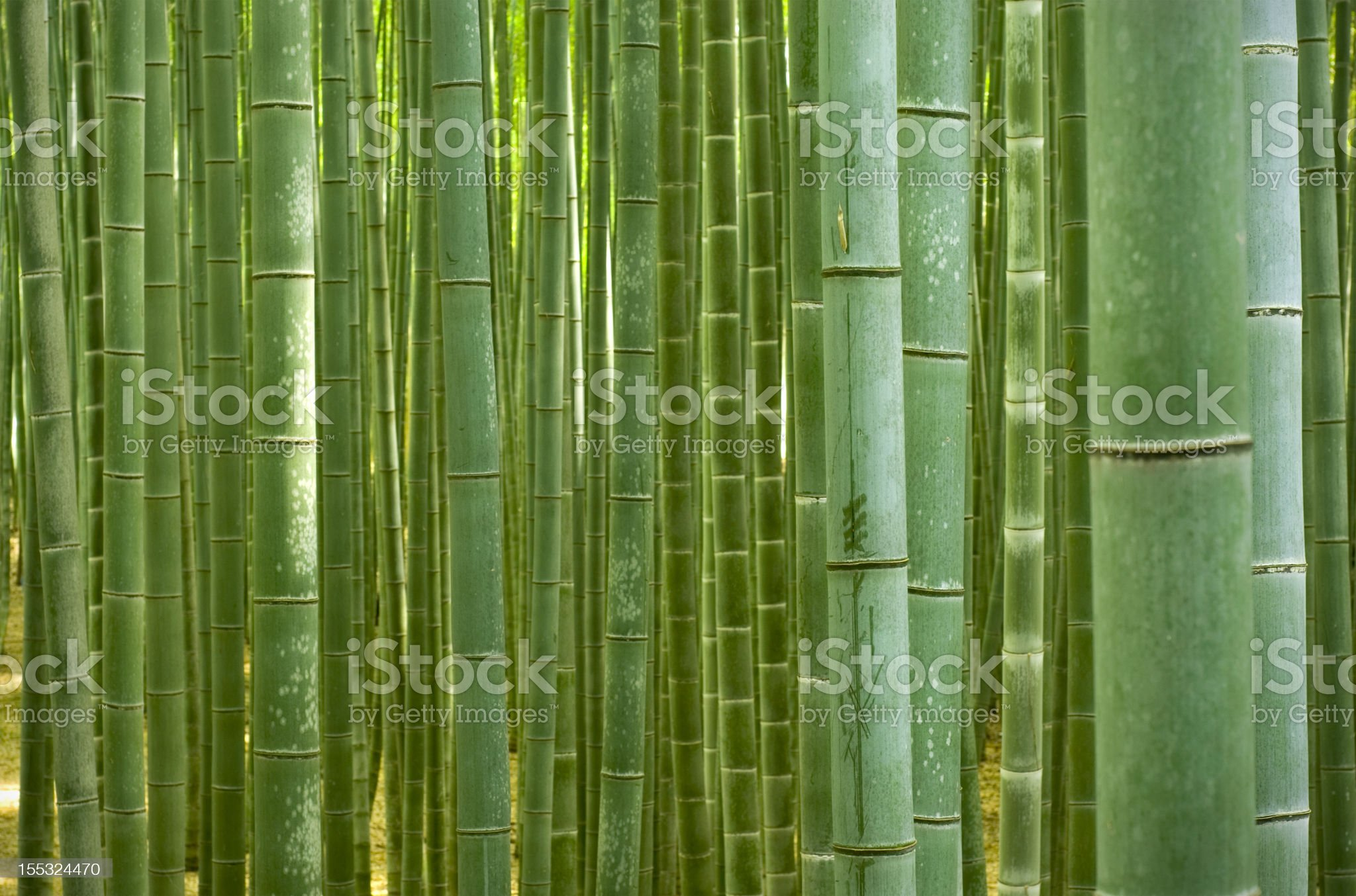 Bamboo Forest royalty-free stock photo