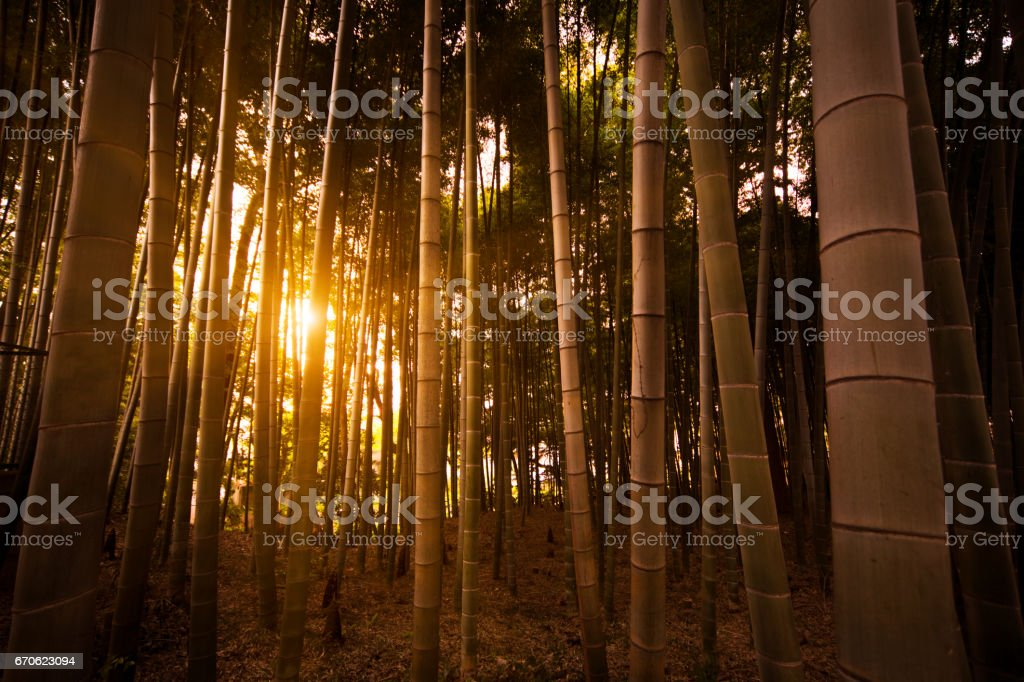 Bamboo forest with sunny stock photo