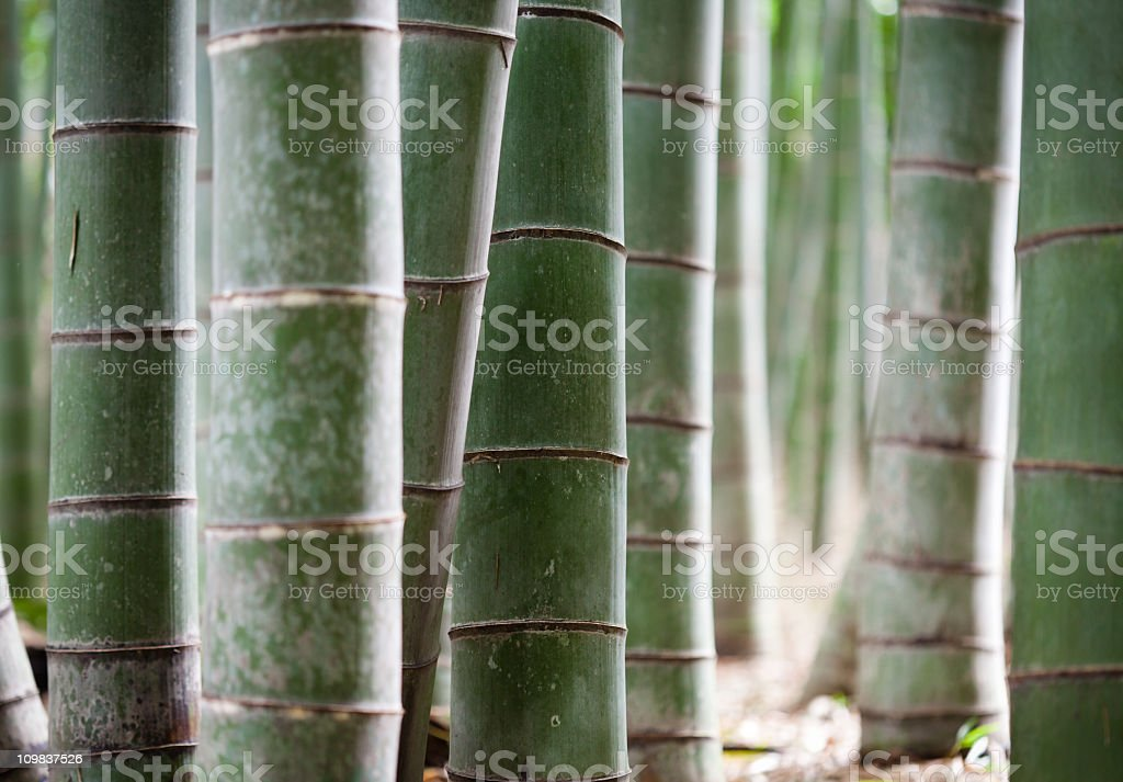 Bamboo forrest in Japan royalty-free stock photo