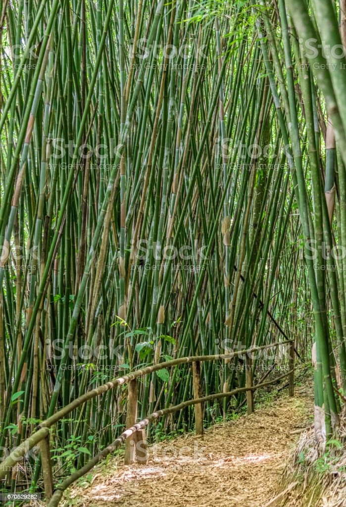 Bamboo green forest with a path of bamboo leafs covering the ground stock photo