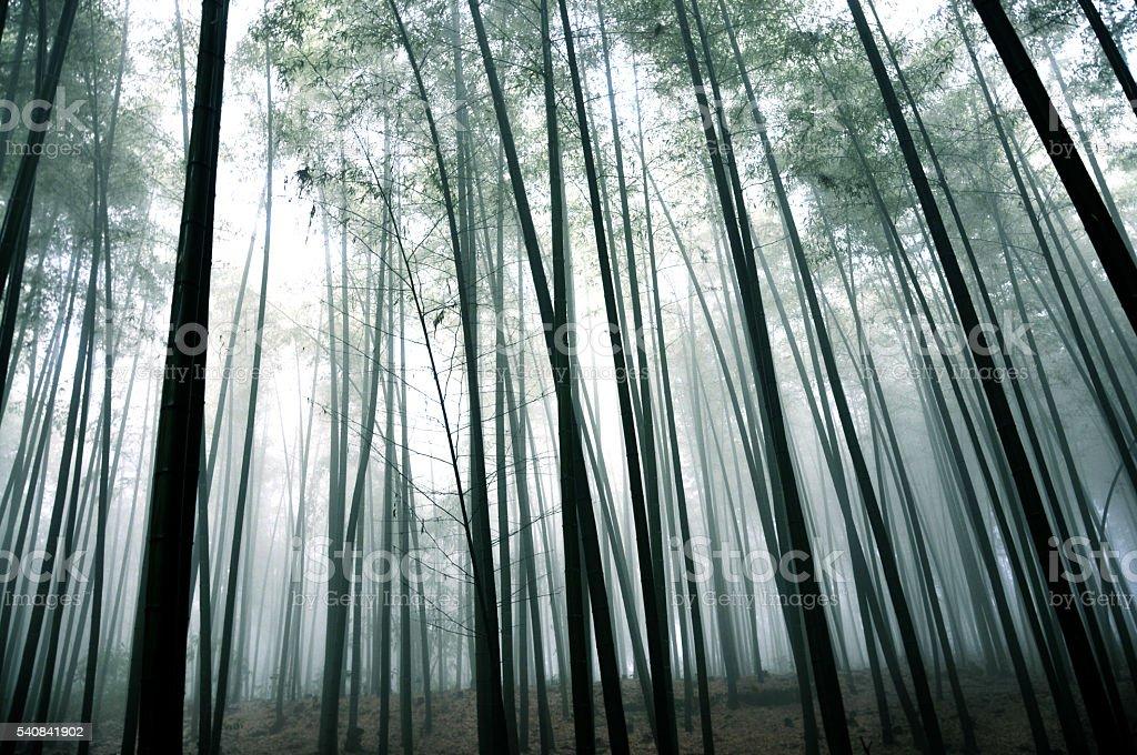 Bamboo grove in fall stock photo