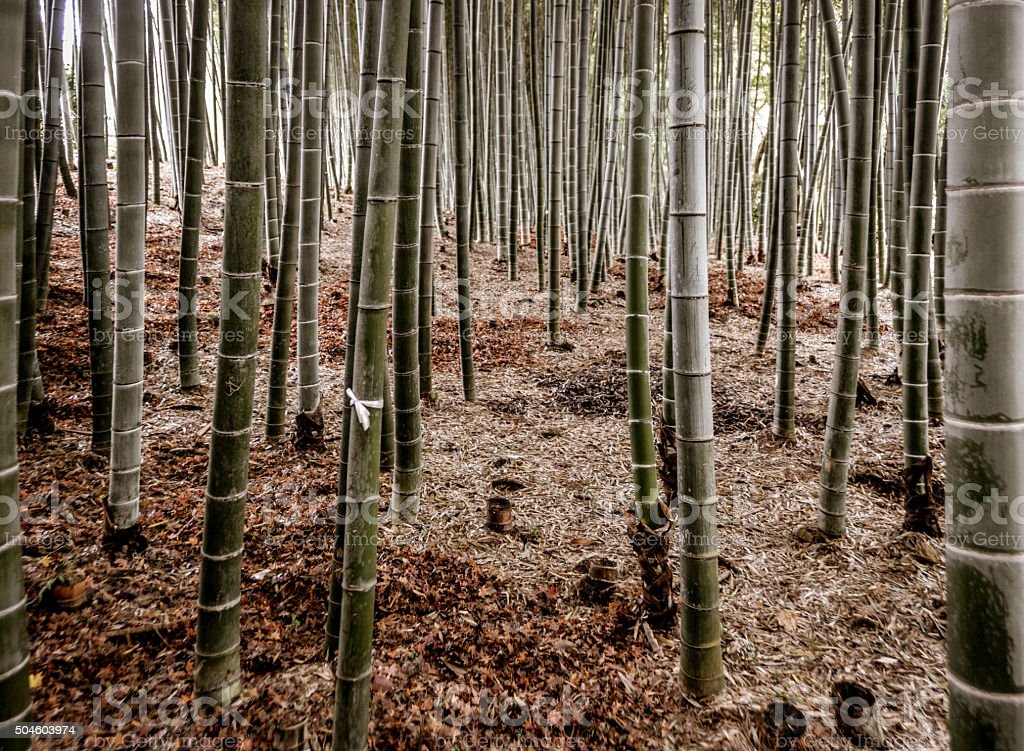 Bamboo Grove - Japan stock photo