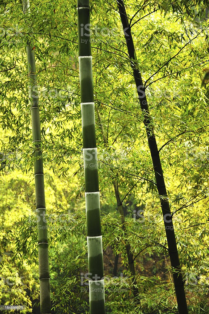 Bamboo grove royalty-free stock photo