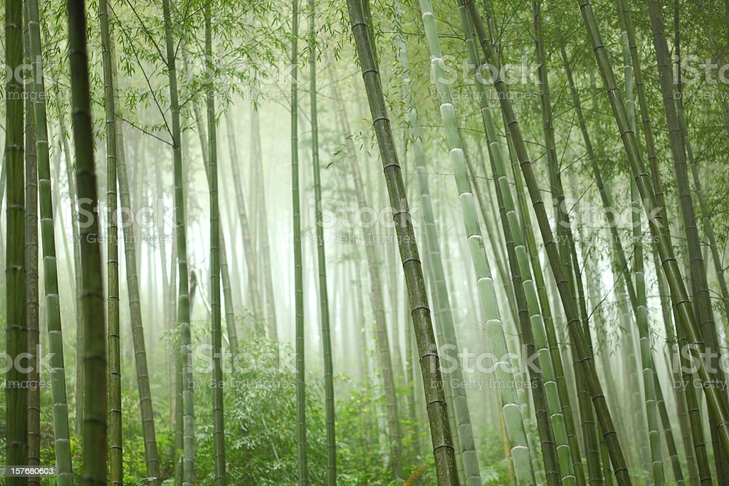 Bamboo grove with many trees and sunlight stock photo