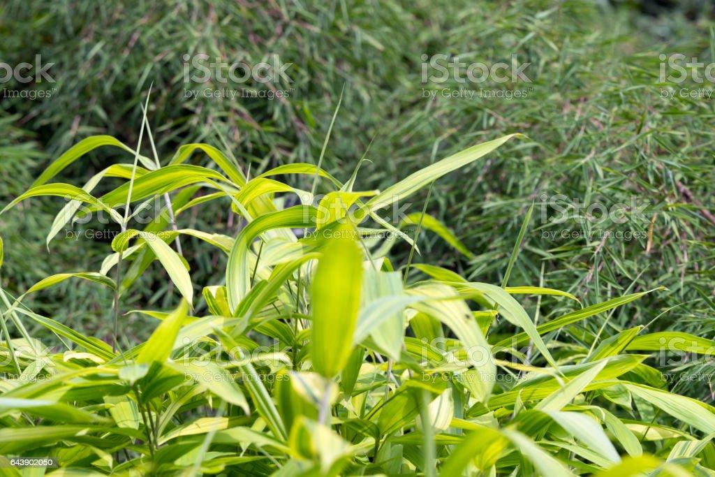 Bamboo  in sunlight, Pleioblastus viridistriatus stock photo