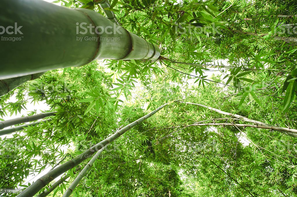 bamboo in sunshine royalty-free stock photo
