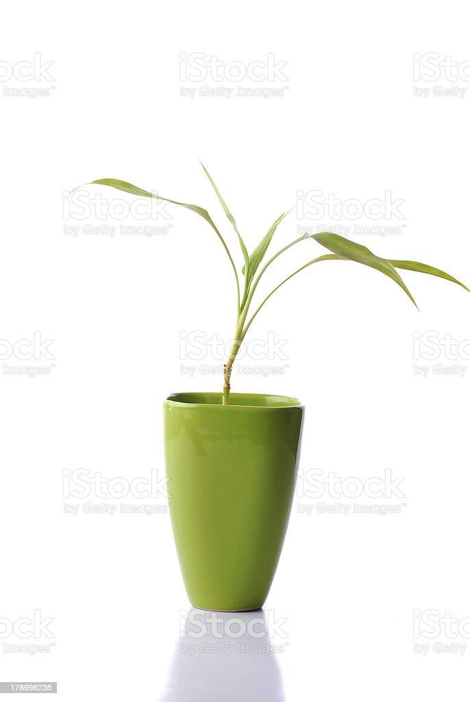 Bamboo In Vase royalty-free stock photo