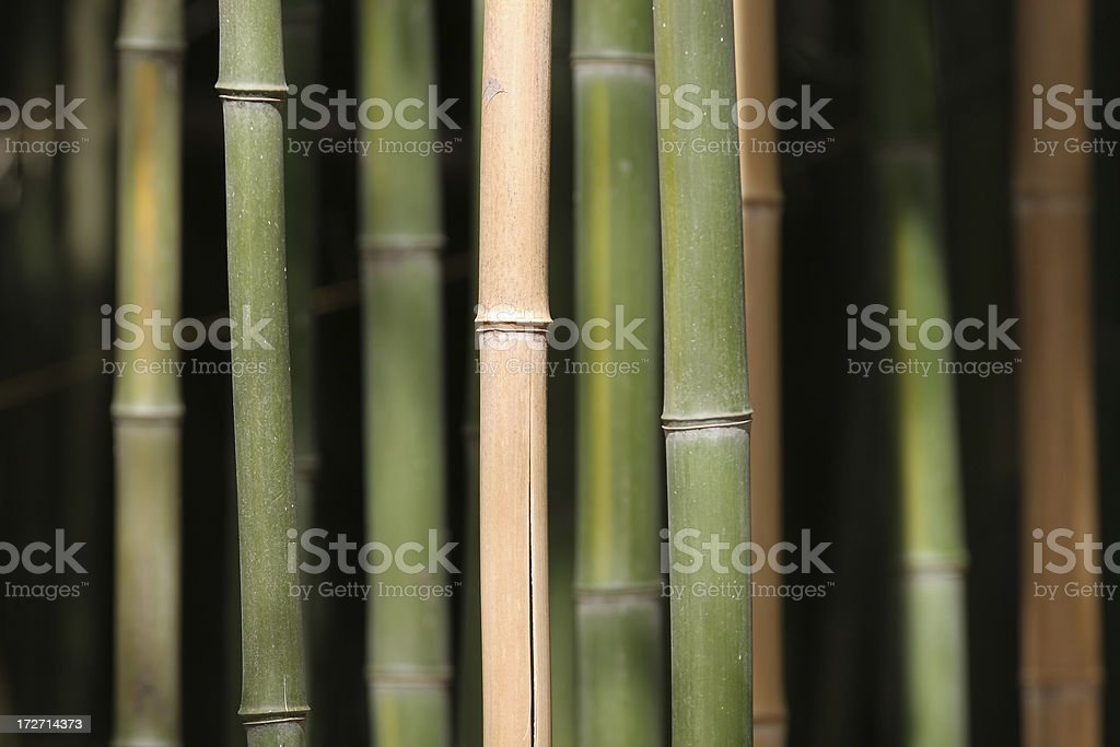 Bamboo Jungle royalty-free stock photo
