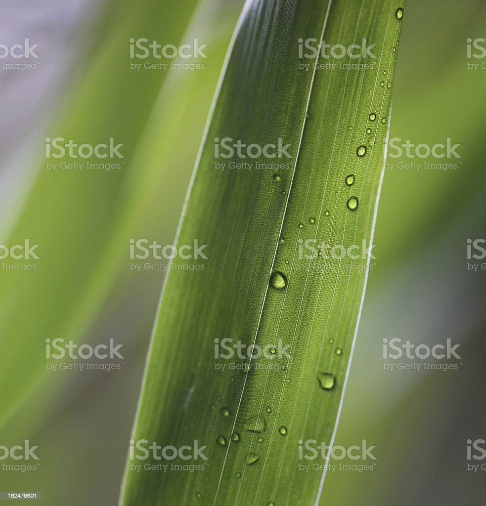 Bamboo leaf drops royalty-free stock photo