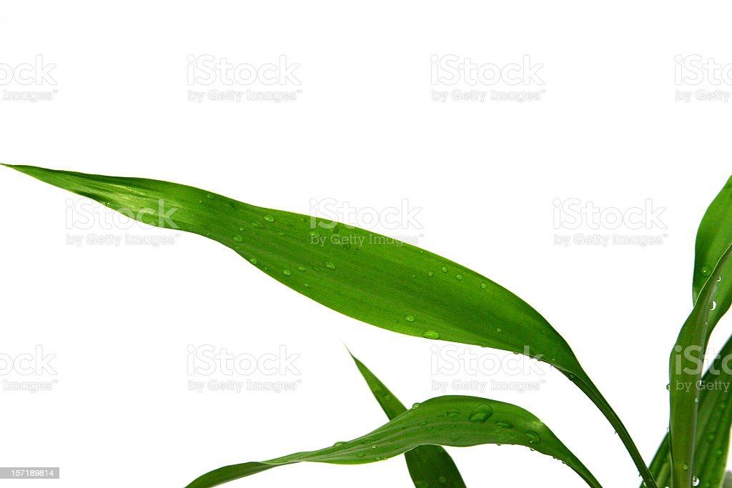 Bamboo Leaves Isolated royalty-free stock photo