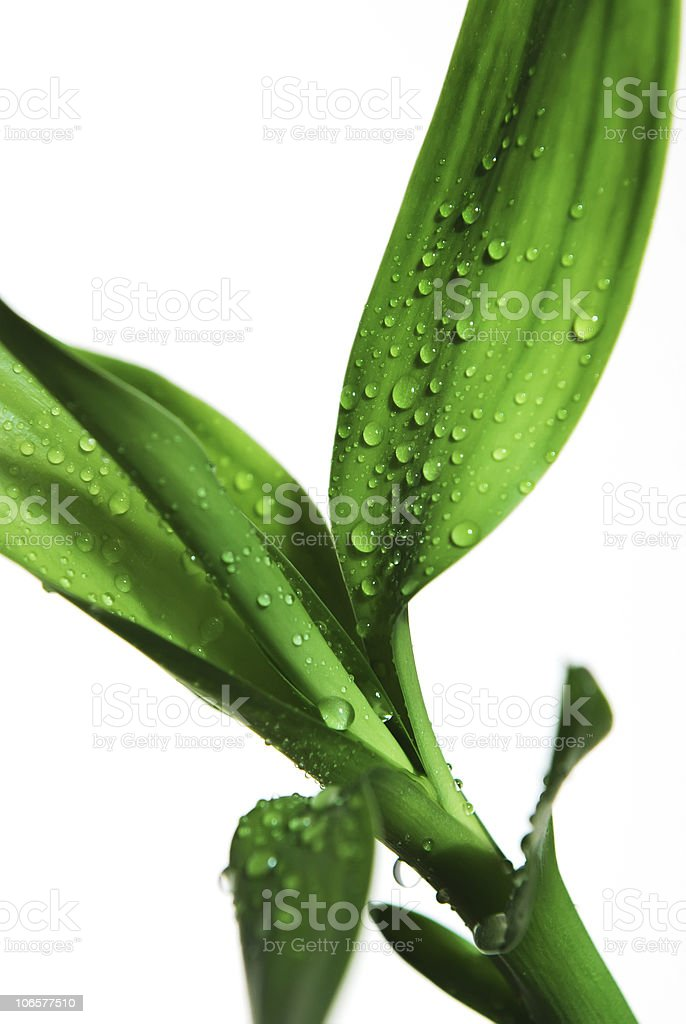 Bamboo leaves with drops royalty-free stock photo