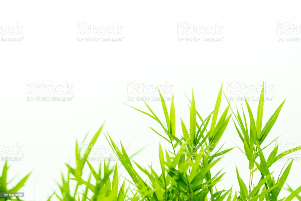 Bamboo leaves with water drops stock photo