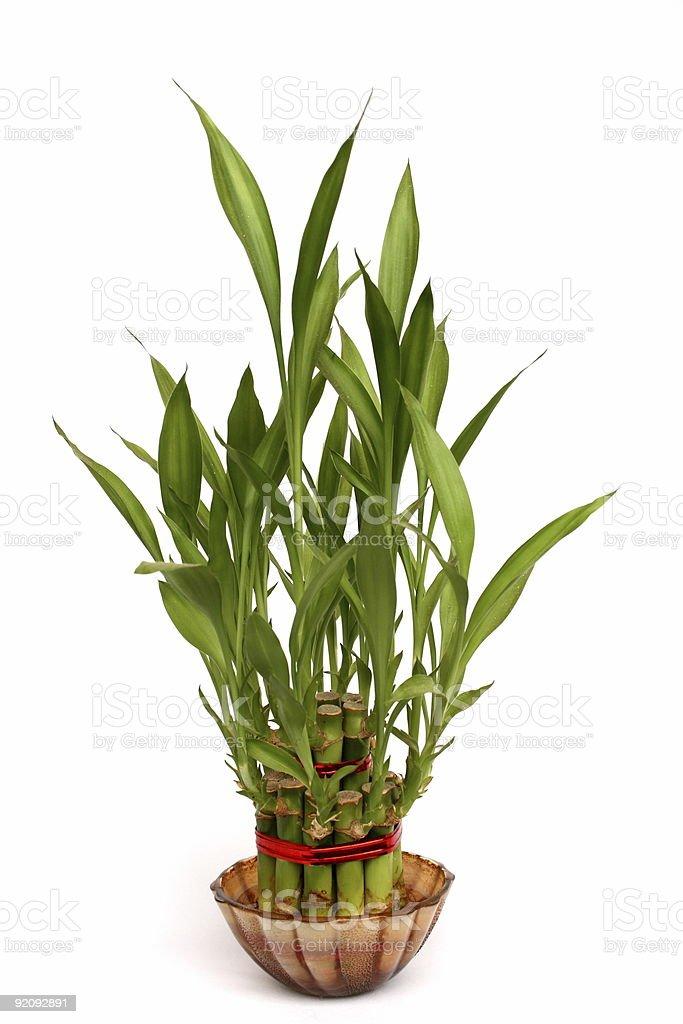 Bamboo plant against plain background stock photo