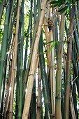 Bamboo plant stalks nature background
