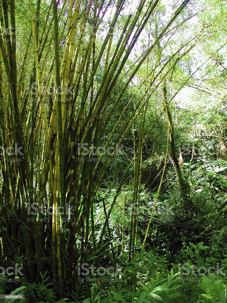 Bamboo Plants stock photo