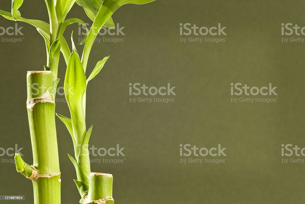 Bamboo Plants With Copy Space royalty-free stock photo