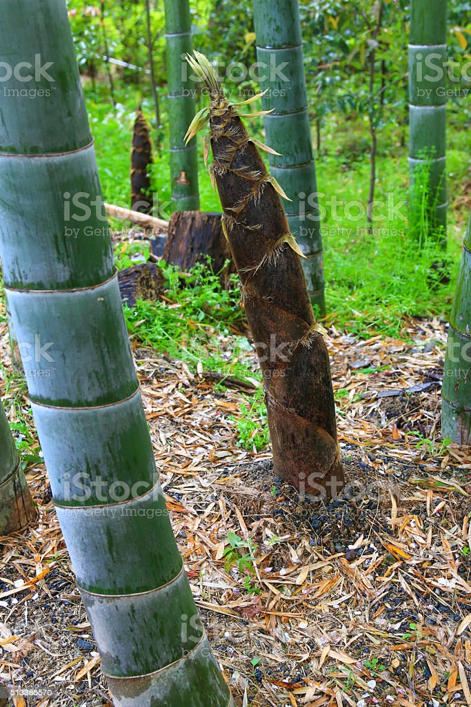 Bamboo shoot (Bamboo sprout) on the ground at bamboo forest stock photo