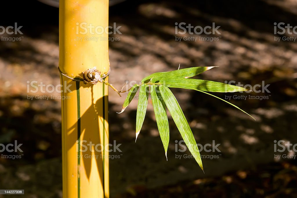 Bamboo Shoot royalty-free stock photo