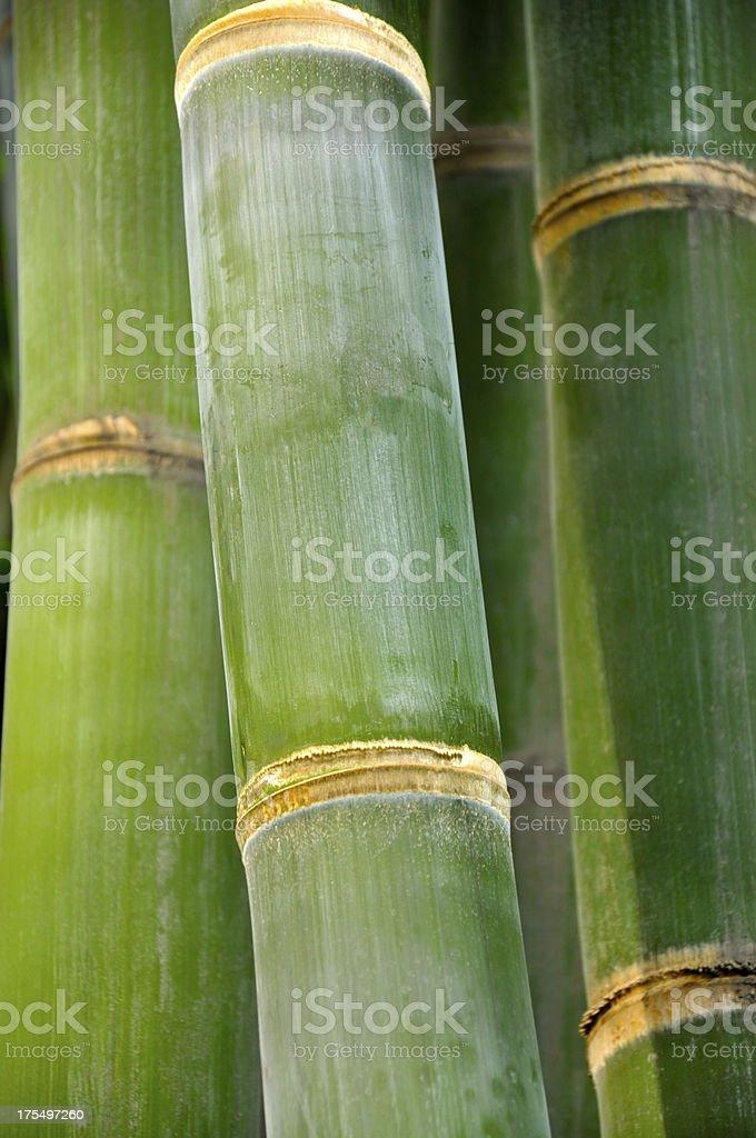 Bamboo shoot royalty-free stock photo