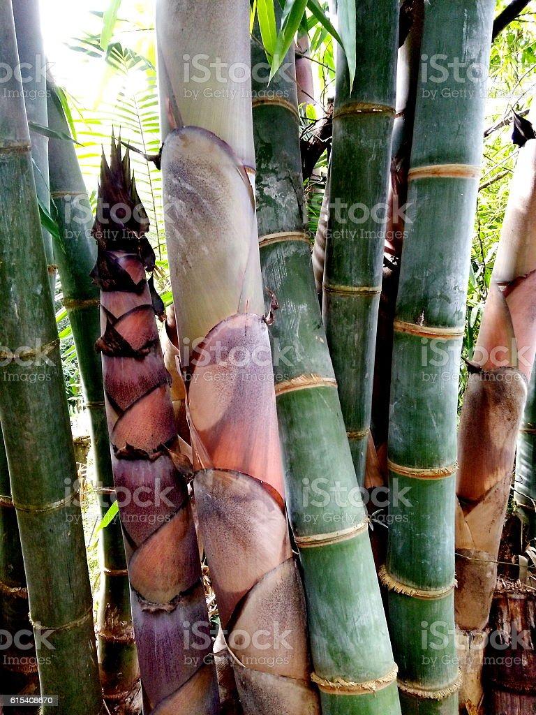 Bamboo shoot stock photo