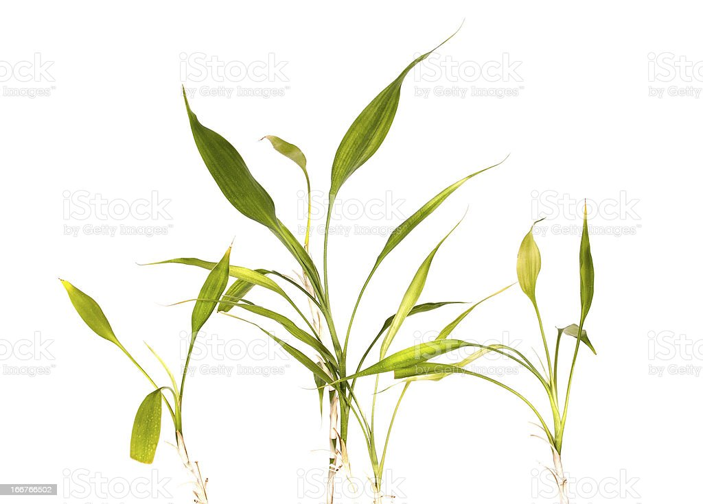 Brotos de bambu e folhas foto royalty-free