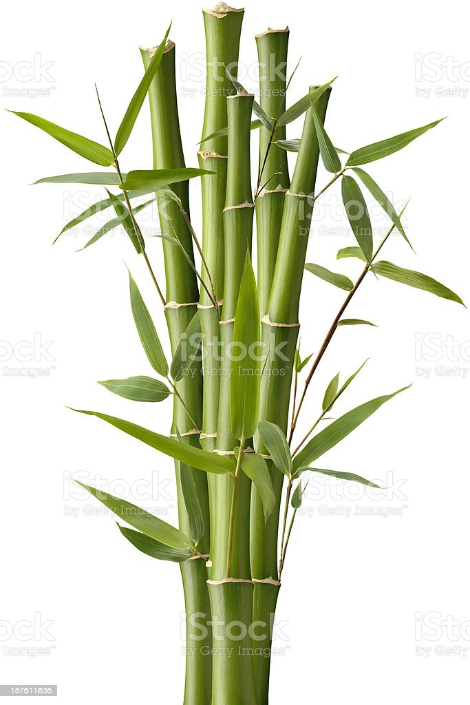 Bamboo Sparkler stock photo