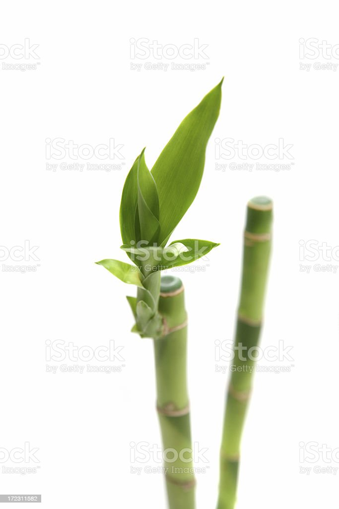 Bamboo sprouts royalty-free stock photo