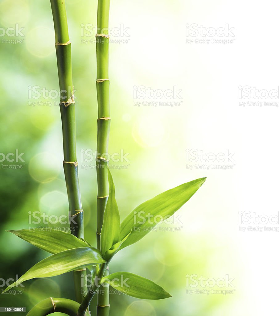 bamboo stalks and light beam stock photo