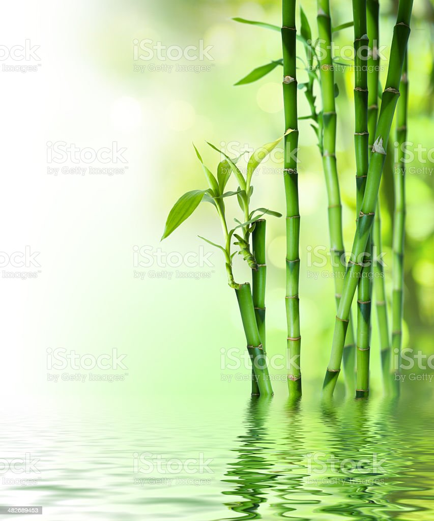 bamboo stalks on water stock photo