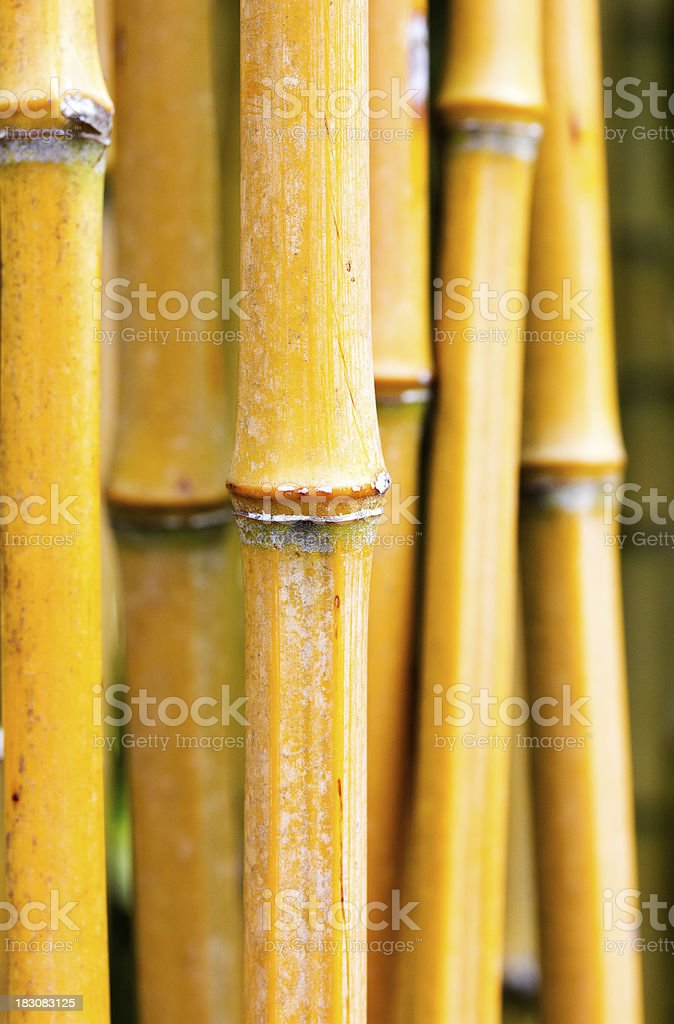 Bamboo stems in a forest royalty-free stock photo
