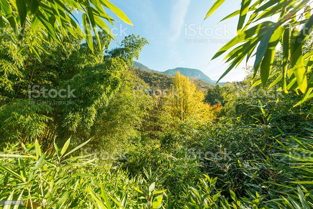 Bamboo stents rising to the sky in Merano (South Tyrol). stock photo