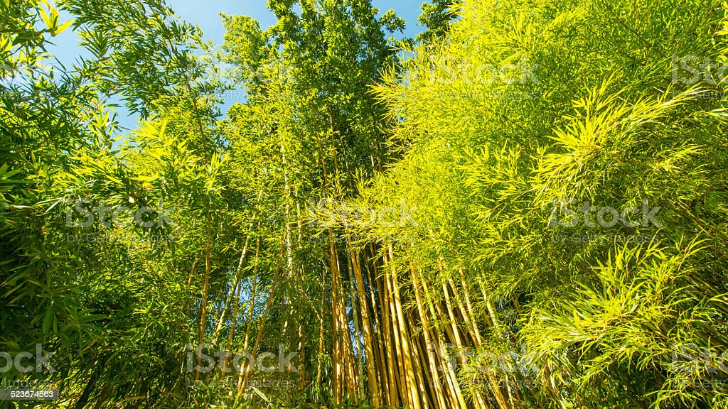 Bamboo stents with green, lush foliage in  late summer. stock photo