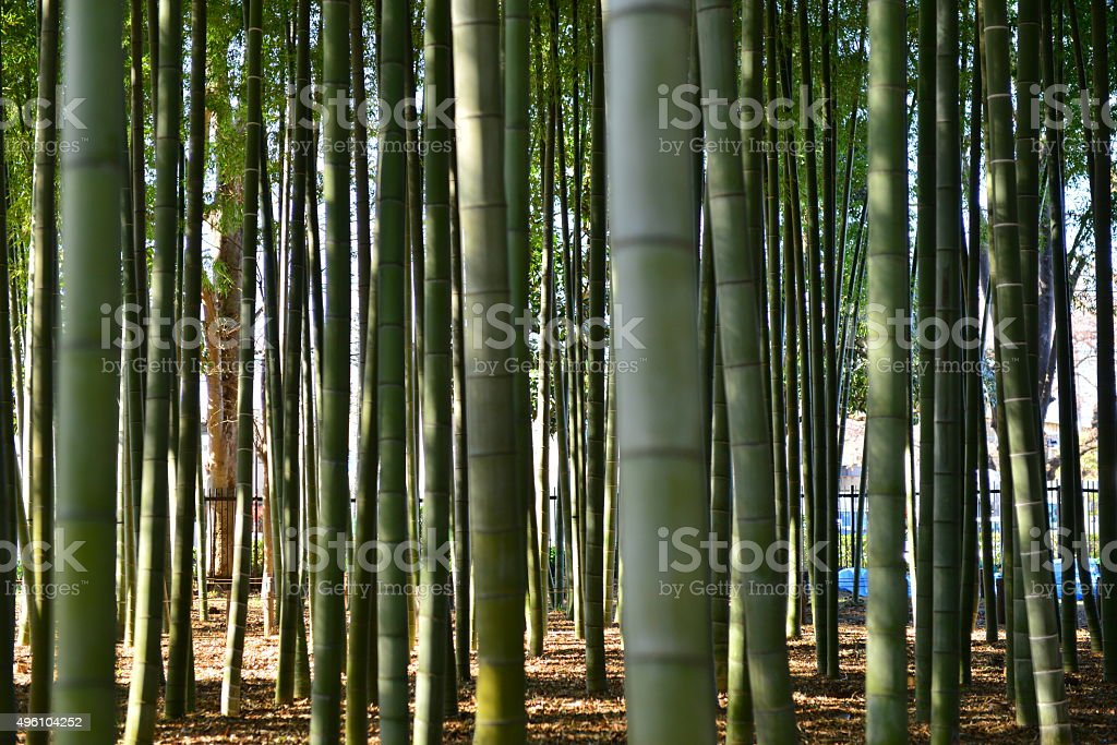 Bamboo Thicket stock photo
